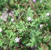 Robertskruid, een plant met geneeskracht | Mens en Gezondheid: Natuurgeneeswijze