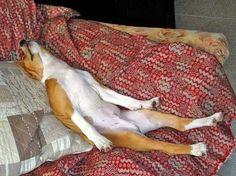 Basenji's can sleep anywhere ;-)