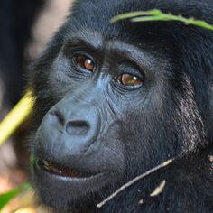 Cumpliendo sueños! Por fin pude disfrutar de una hora en compañía de una amistosa familia de gorilas!!! #ViajandoAfricaEste #RoadtripUganda