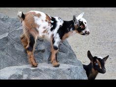 Meet Sugar and Spice, Point Defiance #Zoo's New Nigerian Dwarf #Goats http://ibeebz.com
