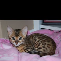 "My amazing Christmas 2011 present... A male Bengal kitten.. Named him Tiberius (Ty for short)! Absolutely ""purrrrrrrrfect"" if I do say so myself! :)"
