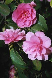 Camellias Information And Types Camellia Sasanqua Vs Camelia Japonica Camellia Plant Camellia Flower Plants