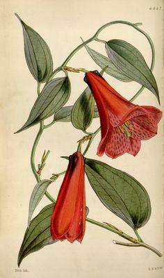 Rose-coloured Lapageria (Lapageria rosea). Curtis's botanical magazine v.75 [ser.3:v.5] (1849)  London ;New York [etc.] :Academic Press [etc.]  Biodiversitylibrary. Biodivlibrary. BHL. Biodiversity Heritage Library
