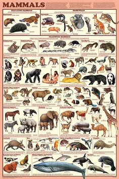 Mammal Orders Poster by Feenixx Educational