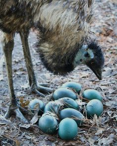 Emu eggs, so pretty (my uncle's parents own a farm on which they had emus).
