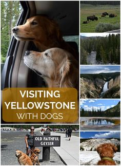 Though not the most dog friendly park, dogs are allowed in Yellowstone! Learn the rules for dogs in Yellowstone and how to make the most of your visit! Visit Yellowstone, Yellowstone National Park, National Parks, Baby Dogs, Pet Dogs, Aggressive Dog, Dog Travel, Travel Usa, Training Your Dog