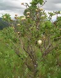 Protea welwitschii - Google Search Trees To Plant, Shrubs, Perennials, Google Search, Plants, Planters, Perennial, Plant, Planting