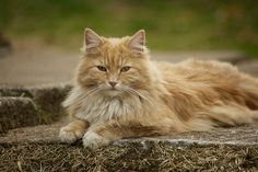 Norwegian Forest Cat by Sirensky, via Flickr
