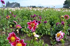 More Amazing Flowers! From: The Passionate Homemaker: Swan Island Dahlia Festival, Canby
