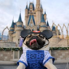 """When u wish upon a pug"" -Doug by itsdougthepug"