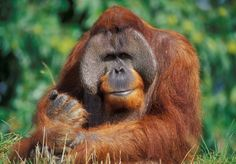 Orangutan at the Gerald Durrell conservation park Jersey, Channel Islands, Europe