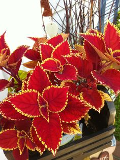 Types of Houseplant Bugs and Methods to Check Their Infestation Gold Edged Red Coleus Solenostemon Scutellarioides Shade Garden Plants, Summer Plants, Tropical Plants, Indoor Plants, Planting Succulents, Planting Flowers, Beautiful Gardens, Beautiful Beautiful, Foliage Plants