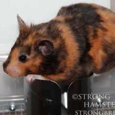 unusual tortoiseshell-patterned Syrian hamster