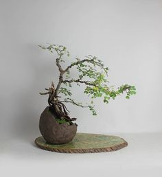 """Neea Buxifolia Bonsai Tree """"Theatrical Collection Spring 2016"""" by Leonard by LiveBonsaiTree on Etsy"""