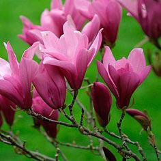 Magnolia 'Ann' (Little Girl hybrid magnolia)