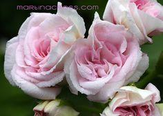 Pelargonie - Pelargonium - Pelargoner Lady Gertrude
