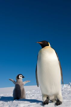 """Emperor penguin and chick"" by Exodus Travels - Reset on Flickr - This is an Emperor penguin and its chick."