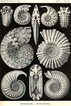 Ammonites are an extinct group of marine invertebrate animals in the subclass Ammonoidea of the class Cephalopoda. These molluscs are more closely related to living coleoids (i.e. octopuses, squid, an