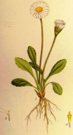 bellis perennis (common names: common daisy, lawn daisy, english daisy) [fr: pâquerette, pâquerette vivace]