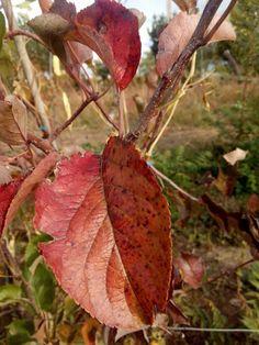 Manzano Golden