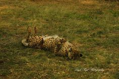 This cheetah was having a relaxing back-scratch on a winter's day, quite content! Kruger National Park, Lonely Planet, Big Cats, North West, Cheetah, Travel Guide, South Africa, Wildlife, Content
