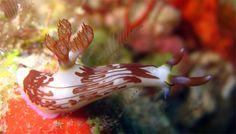 Lined nembrotha (Nembrotha lineolata), Pulau Badas, Indonesia