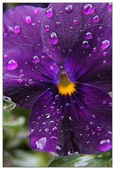 Raindrops on Purple Pansy