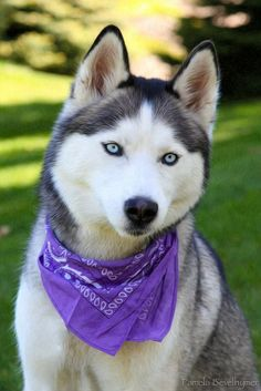 Alaskan Husky Dogs Siberian Husky - Painted Looking Alaskan Husky, Siberian Husky Dog, My Husky, Alaskan Malamute, Husky Puppy, Cute Husky, Most Beautiful Dogs, Animals Beautiful, Cute Animals