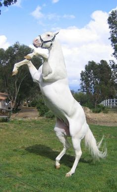 Arctic White  1999 son of Airdrie Apache, out of Tropicana Anna