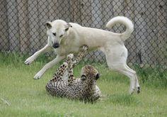 #3 Cheetah Sahara & Shepherd Dog Alexa