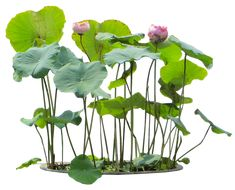 Aquatic Plant PNG Image (Nelumbo Nucifera)