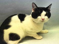 Manhattan Center My name is EMERY. My Animal ID # is A1079977.-P I am a male black and white domestic sh mix. The shelter thinks I am about 2 YEARS I came in the shelter as a STRAY on 07/05/2016 from NY 11237, owner surrender reason stated was STRAY. MOST RECENT MEDICAL INFORMATION AND WEIGHT 07/18/2016 Exam Type CAGE EXAM – Medical Rating is 3 C – MAJOR CONDITIONS , Behavior Rating is NONE, Weight 10.6 LBS.