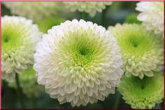 Süße Chrysanthemen für #Valentinsgrüße