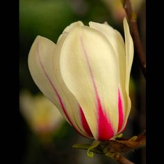 Magnolia 'Sunrise' - Container Plants - Height and spread: