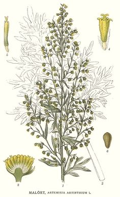 Artemisia absinthium. Koirohi.Carl Axel Magnus Lindman