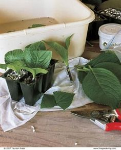 Propagate Your Shrubs from Softwood Cuttings | Fine Gardening