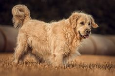 my lovely golden by Danny Block on 500px
