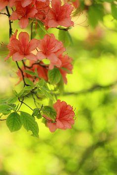 azalea. I've never seen as many azaleas as I did when I was in Virginia last week. They were absolutely beautiful.