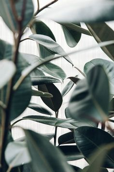 """Asif Khan's """"Forest's"""" Installation for MINI Living at LDF 2016 — Haarkon Adventures - Rubber plant or Ficus elastica. Rubber plant or Ficus elastica. Rubber plant or Ficus elastica. Sea Wallpaper, Plant Wallpaper, Phone Backgrounds, Wallpaper Backgrounds, Wallpaper Quotes, Rubber Plant, Plant Aesthetic, Whatsapp Wallpaper, Green Plants"""