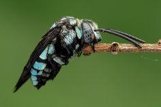 波琉璃紋花蜂 Thyreus decorus (Smith, 1852)