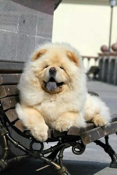 Who doesn't love Chow chows Perros Chow Chow, Chow Chow Dogs, White Chow Chow, Fluffy Animals, Cute Baby Animals, Animals And Pets, Fluffy Puppies, Cute Puppies, Dogs And Puppies