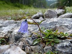 SPrintIllustration / Zvonček maličký Campanula cochleariifolia v Alpách Home Wall Decor, Alps, Art Prints, Wallpaper, Nature, Photography, Printable, Animals, Mountains