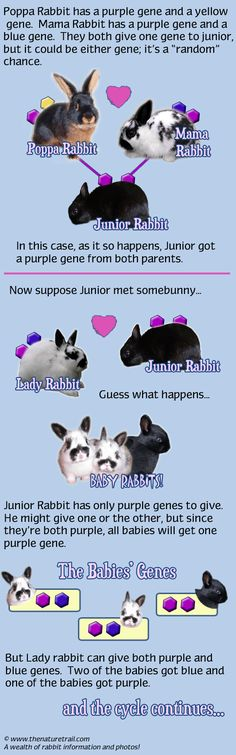 helpful illustration graphic for teachers showing how hereditary genetics work with rabbits as subjects