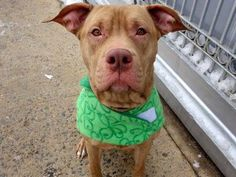 TO BE DESTROYED 3/17/15  Manhattan Ctr - P SHAY ID#A1029193  Female brwn/wht bully mix  2YRS STRAY*** A BULLY BEAUTY WHO LOVES  ALL- CODE RED! Volunteer writes: Leash manners are excellent, likely housetrained, sits when asked, takes treats gently & shakes both paws! Ignoring other dogs we passed, calm & easy going. Affectionate & a shelter favorite! Some food guarding, common for strays & retrainable.  She's a love who is looking for a lifelong family to take care of. Could that be you?