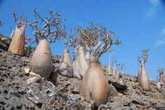 Photo courtesy of Kelly Griffin. Photo taken in Socotra, Yemen. Succulent Bonsai, Bonsai Plants, Bonsai Garden, Cactus Plants, Fruit Tree Garden, Fruit Trees, Trees To Plant, Cool Succulents, Planting Succulents