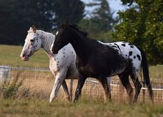 Appaloosa's Horse Stables, Horse Farms, All The Pretty Horses, Beautiful Horses, Spotted Horse Breed, Raising Farm Animals, Gypsy Horse, American Quarter Horse, Appaloosa Horses