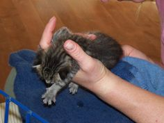 Bottle Babies Community Concern For Cats how to take care of a baby kitten - Baby Care Kitten Rescue, Baby Kittens, Domestic Cat, Baby Bottles, Baby Care, Cats, Community, Babies, Animals