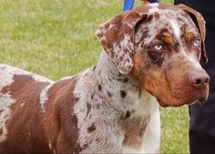 A Scrapbook of Me: Catahoula Leopard Dog Catahoula Cur, Rare Dog Breeds, Leopard Dog, Rottweiler Puppies, Beautiful Dogs, Dogs And Puppies, Doggies, Dog Love, Best Dogs