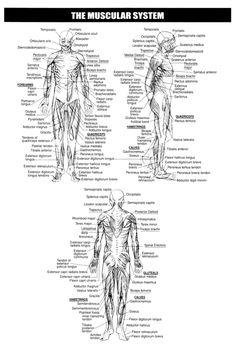 Muscular System Worksheets Skeletal Printable Mike