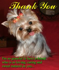 different cuts for teacup yorkshire terrier - Yahoo Search Results Thank You Greetings, Good Morning Greetings, Thank You Cards, Thank You Images, Thank You Quotes, Yorkshire Mini, Yorkshire Terrier, Special Friend Quotes, Puppy Haircut